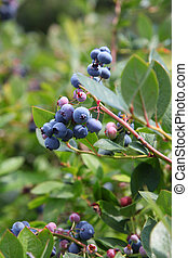 Blue berries on the plant - Fresh blue berries on the plant