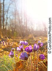 Hepatica nobilis flowers in spring nature in surroundings