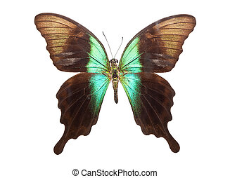 Butterfly Papilio Peranthus - Beautiful tropical butterfly...