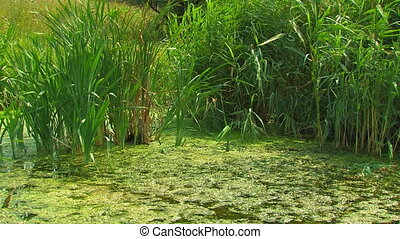 Reed on the marshy pond.
