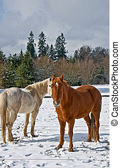 Two Horse in Winter