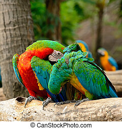 Harlequin Macaw - Colorful Harlequin Macaw aviary, sitting...