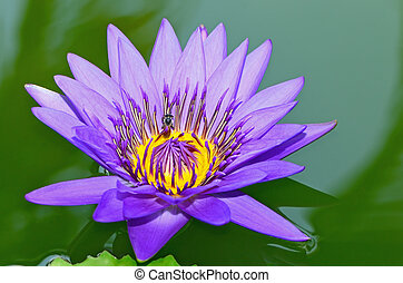 waterlily - Beautiful purple waterlily in the pond