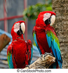 Greenwinged Macaw - Beautiful couple of Greenwinged Macaw...