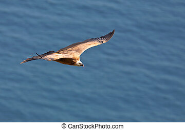 Vulture in flight over the sea (gyps fulvus)