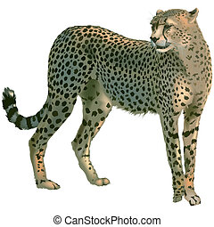 Cheetah - Colored And Detailed Illustration, Vector