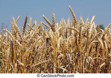 golden wheat close up summer season