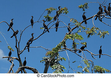 Cormorants - Many cormorants on some branches