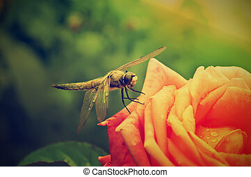 Dragonfly on the rose - Dragonfly sitting on the rose in...