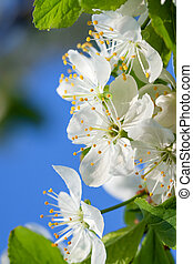 agriculture blossoming of flowers of cherry on a tree spring...