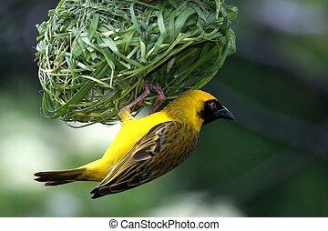 tecelão, mascarado, pássaro