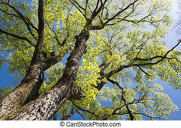 Large elm tree branches spread full in spring