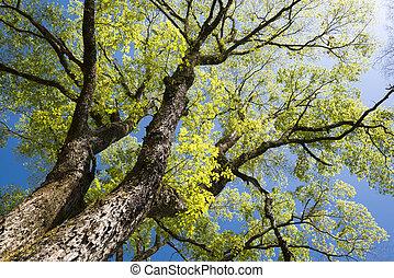 grande, árbol, olmo