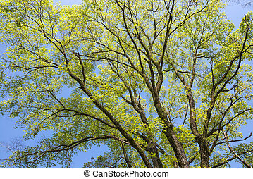 Elm green branches spread full in spring