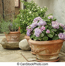 flowering hortensia and other plants in terracotta vases on...