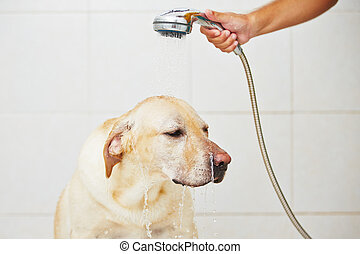 Dog in bathroom - Labrador retriever is taking a shower at...