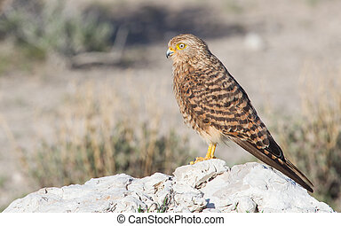 Greater kestrel (Falco rupicoloides) perched on a rock,...
