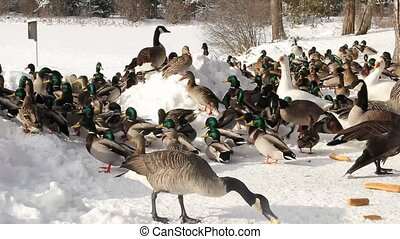 mallard ducks gathering - mallard ducks gather at a winter...