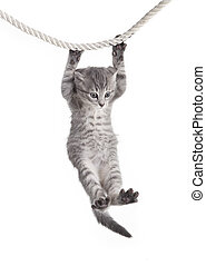 tabby cat hanging on rope - small tabby cat baby hanging on...