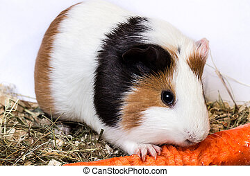 Guinea pig with a carrot - Guinea pig eating carrots ,...