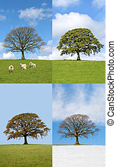 Oak Tree in Four Seasons - Four seasons of an oak tree in...