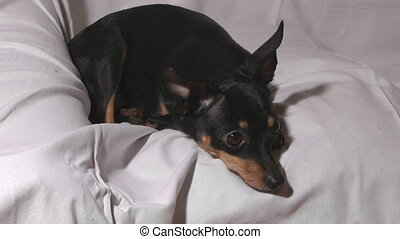 Russian toy terrier. - Close up shot of little dog russian...