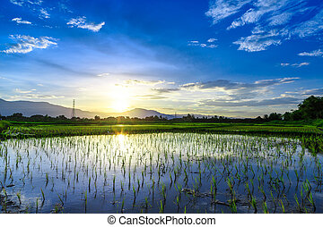 Young rice field with mountain sunset background, Chiang...