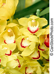 many yellow orchid flowers - this photo is taken in Nagoya