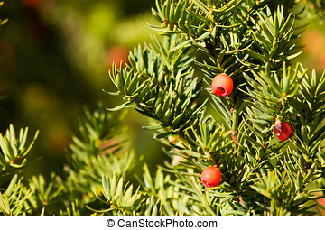 Yew with ripe red fruits