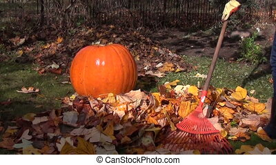 rake leaves pumpkin grass - farmer with big red rake raking...