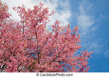 Pink sakura in northern thailand. - Pink sakura in northern...