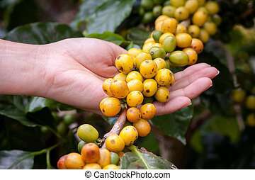 coffee beans on plant in the garden Close to harvest