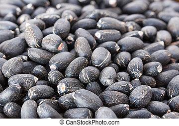 Jatropha curcas seeds - Physic nut (Jatropha curcas L.),...