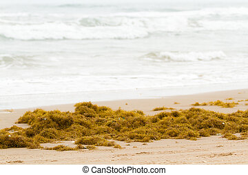 Seaweeds on the beach of South Padre Island