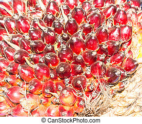 Palm Oil Fruits