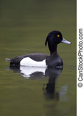 Tufted duck, Aythya fuligula, single male on water, London,...