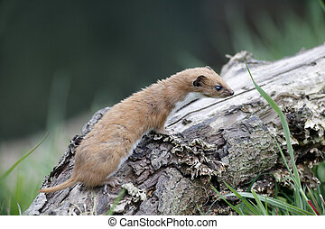 Weasel, Mustela nivalis, single mammal in grass, captive,...