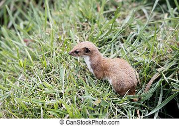 Weasel, Mustela nivalis,