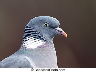 Wood pigeon; Columba palumbus - Wood pigeon, Columba...
