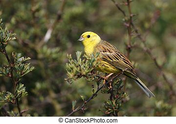 Yellowhammer, Emberiza citrinella, single male on branch,...