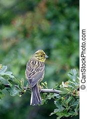 Yellowhammer, Emberiza citrinella, single female on branch,...