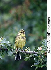 Yellowhammer, Emberiza citrinella, single female on branch,...