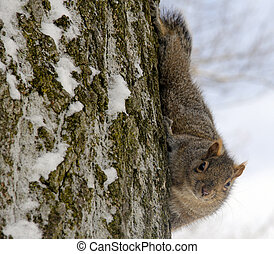 eastern fox squirrel climbing down a tree in mid winter
