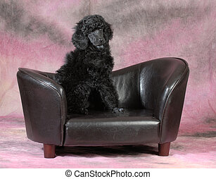 poodle puppy - cute poodle puppy sitting on a dog couch on...