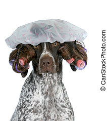 dog grooming - german shorthaired pointer wearing wig with...