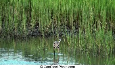 Great Blue Heron hunting in the shallow water