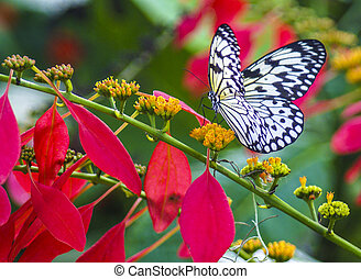 Paper Kite butterfly - Picture of paper kite butterfly, idea...