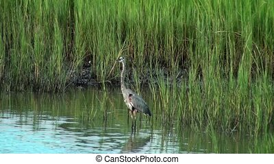 Great Blue Heron looking around in the marsh