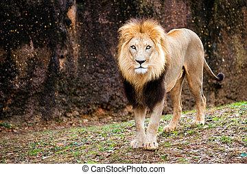 Portrait of male lion walking