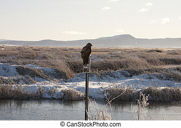 Immature Red Tailed Hawk Perched on Post. Photo taken at...